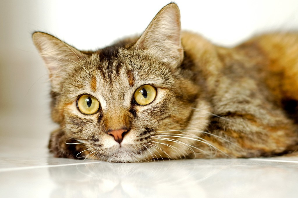 grau getigerte Katze