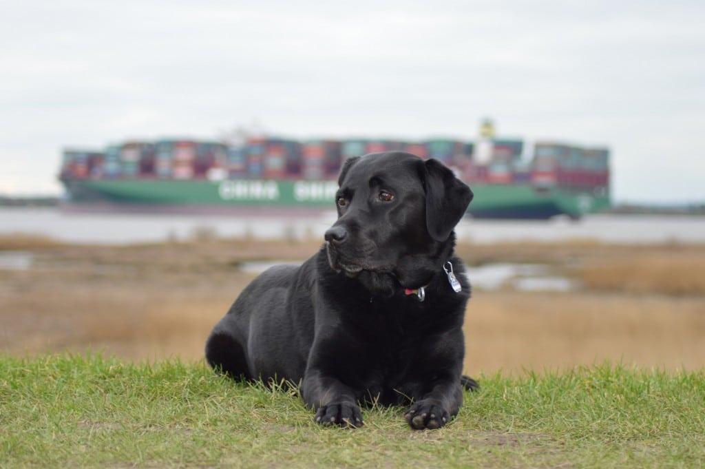 Schwarzer-Labrador_Elbe_Tierkommunikation_Telepathie