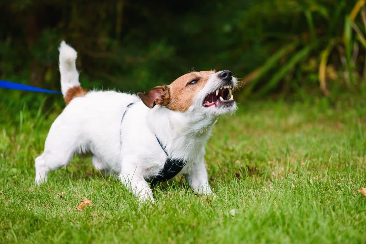 Kleiner Hund an der Leine aggressiver Ausdruck
